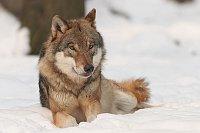 Wolf, photo: Bernard Landgraf / CC 3.0 Unported
