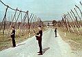 'Los viejos cosechando lúpulo' 1964