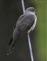 Cuckoo, photo: Steve Garvie, Creative Commons 2.0