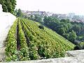 Los viñedos capitalinos