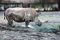 White rhino in Dvůr Králové Zoo, photo: Barbora Kmentová