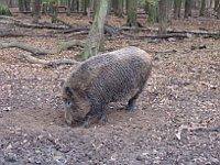 Wild boar, photo: Miloš Turek