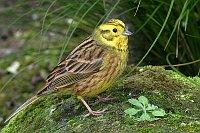 Yellow hammer, photo: Alan Vernon, Creative Commons 2.0
