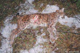 A shot lynx, photo: CTK/Alka Wildlife