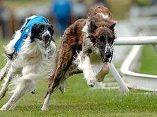 World Greyhounds Championship, photo: CTK