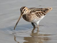 Common snipe, photo: Alpsdake, CC BY-SA 3.0