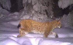 Lynx, photo: Czech Television