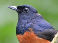 White-rumped shama, photo: archive of EAZA