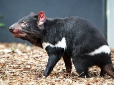 Tasmanian devil, photo: Miroslav Bobek / Prague Zoo