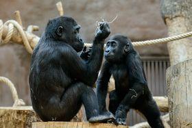 La familia de gorilas del zoo de Praga, foto: Khalil Baalbaki, ČRo