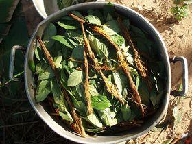 Ayahuasca (Foto: Awkipuma, Wikimedia Commons, CC BY 3.0)