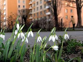 Na sídlišti vProstějově rozkvetly sněženky, foto: ČTK