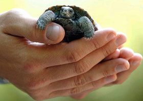 Young tortoise, photo: CTK
