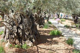 Гефсиманский сад, Иерусалим, Фото: Архив Эвы Туречковой