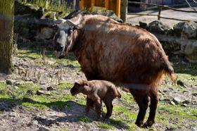 V děčínské zoo se narodilo mládě takina indického, foto: archiv Zoo Děčín