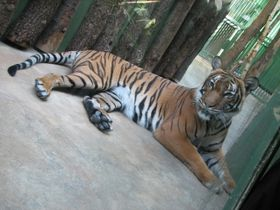 Тигр в пражском зоопарке