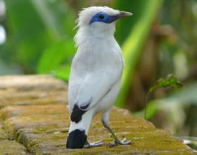 Bali myna, photo: archive of EAZA
