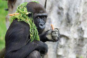 Moja en la actualidad, foto: Archivo del Zoo de Praga, Miroslav Bobek