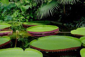 Victoria Amazonica, photo: Jardin des plantes de Liberec
